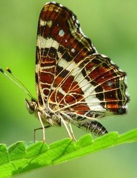 Vlinder mee